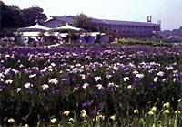 あわら北潟湖畔花菖蒲園